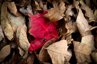 Fallen Leaves On Buffalo